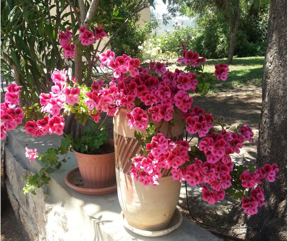 אסנת חן - פרחים יפים בעציץ